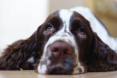 English Springer Spaniel puppy dog Royalty Free Stock Photo