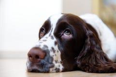 English Springer Spaniel puppy dog Stock Photos