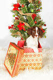 English Springer Spaniel Puppy In Gift Box By Christmas Tree Royalty Free Stock Images
