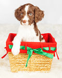 English Springer Spaniel Puppy Sitting In Gift Basket Royalty Free Stock Images