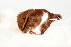 English Springer Spaniel Puppy Sleeping On Fur Stock Image