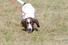 English Springer Spaniel puppy walking on lead Royalty Free Stock Photo