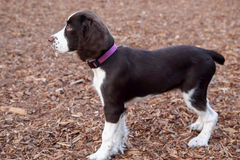 English Springer Spaniel. Springer Spaniel puppy watching other dogs playing at a dog park Stock Photos