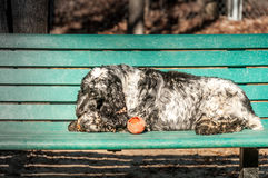 English Springer Spaniel Royalty Free Stock Image