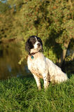 English Springer Spaniel By The River. English springer spaniel sitting by the river after having a swim Royalty Free Stock Photography