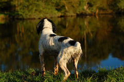 English Springer Spaniel By The River. English springer spaniel sitting by the river after having a swim Royalty Free Stock Photos