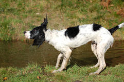English Springer Spaniel Shaking Off Water. English springer spaniel standing by the water after having a swim and shaking off water Royalty Free Stock Image