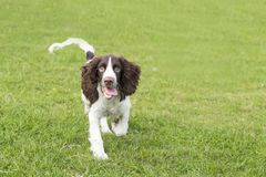 Springer Spaniel. The English Springer Spaniel Shi Binge is also called the English springer spaniel, and the British Shi Binge Terrier is a medium-sized royalty free stock images