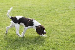 Springer Spaniel. The English Springer Spaniel Shi Binge is also called the English springer spaniel, and the British Shi Binge Terrier is a medium-sized stock images