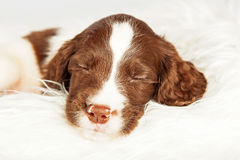 English Springer Spaniel Sleeping On Fur Royalty Free Stock Photos