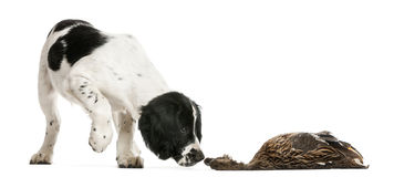 English Springer Spaniel sniffing dead duck Stock Image