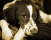 English Springer Spaniel studio portrait. A English Springer Spaniel studio portrait done in Sepia style royalty free stock images
