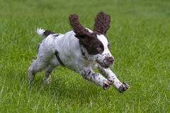 English springer spaniel Royalty Free Stock Photography