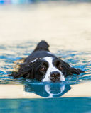 English Springer Spaniel Swimming in Pool Royalty Free Stock Photography