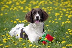 English Springer Spaniel with toy. Laying in meadow of flowers Royalty Free Stock Image
