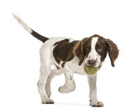 English Springer Spaniel walking Royalty Free Stock Images