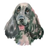 The English Springer Spaniel watercolor hand painted. The English Springer Spaniel - hand painted, isolated on white background watercolor Royalty Free Stock Images