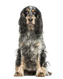 English Springer Spaniel (7 years old) Royalty Free Stock Image