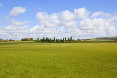 English springtime landscape. Green meadows with sheep and poplar trees and scenic hills in the background in the yorkshire wolds under a blue cloudy sky in Royalty Free Stock Photography