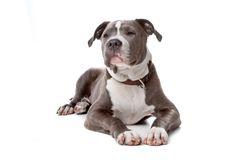English staffordshire bull terrier Stock Images