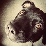English Staffordshire Bull Terrier. Cute dog with begging eyes Stock Images