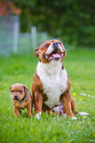 English staffordshire bull terrier dog with a puppy Stock Photography