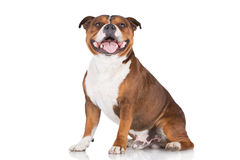 English staffordshire bull terrier dog Royalty Free Stock Image