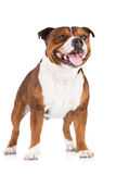 English staffordshire bull terrier dog Stock Images