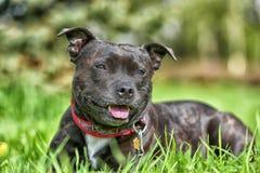 English staffordshire bull terrier stock image