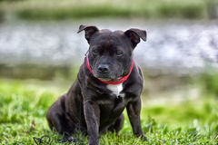 English staffordshire bull terrier stock photography