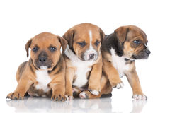 English staffordshire bull terrier puppies Stock Photos