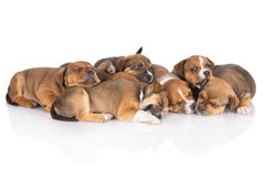 English staffordshire bull terrier puppies Stock Images