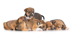 English staffordshire bull terrier puppies Royalty Free Stock Photos