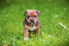 English staffordshire bull terrier puppy Royalty Free Stock Image