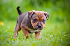 English staffordshire bull terrier puppy. Red english staffordshire bull terrier Stock Photos