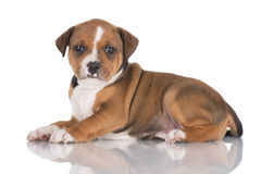 English staffordshire bull terrier puppy Royalty Free Stock Photography