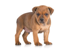 English staffordshire bull terrier puppy Stock Image