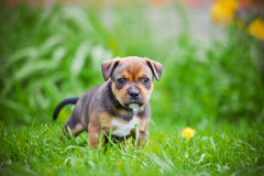 English staffordshire bull terrier puppy Stock Images
