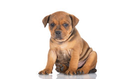 English staffordshire bull terrier puppy Royalty Free Stock Images
