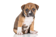 English staffordshire bull terrier puppy Stock Photography
