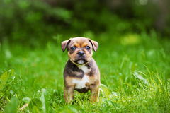 English staffordshire bull terrier puppy Stock Photos