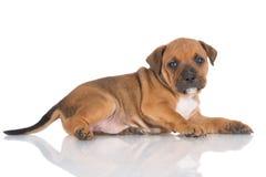 English staffordshire bull terrier puppy Stock Photo
