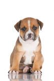 English staffordshire bull terrier puppy Royalty Free Stock Photo
