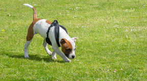 English staffordshire bull terrier puppy. stock photo