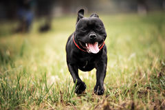 English staffordshire bull terrier running. In road stock image
