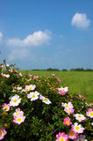 English Summer Field Stock Photography