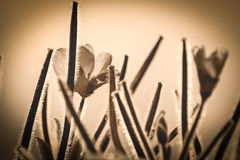 English Summer Flower In Sepia. Shallow depth of field Royalty Free Stock Image