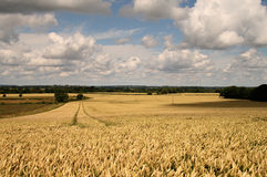 English Summer Landscape. Corn ripening in the Summer Sun with Puffy clouds and blue skies above Stock Photo