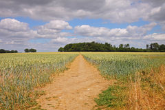 An English Summer Landscape of ripening Wheat royalty free stock photo