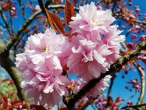 English summer time. Warm English summers day, sun shining down on a pink blossom tree Stock Images